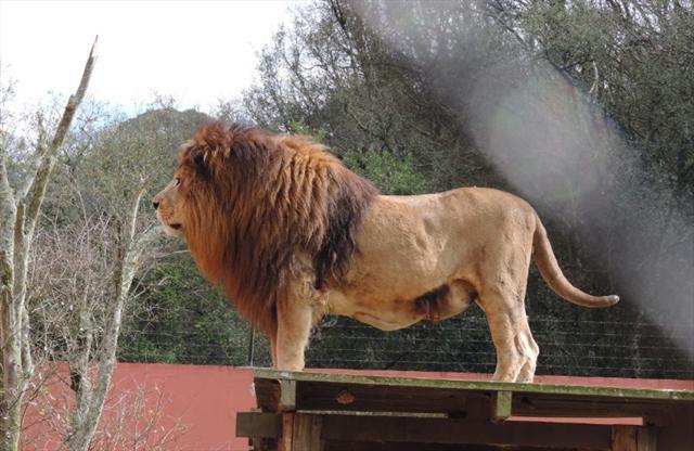 O imponente leão.