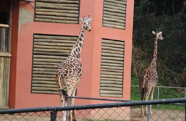 As esbeltas girafas.