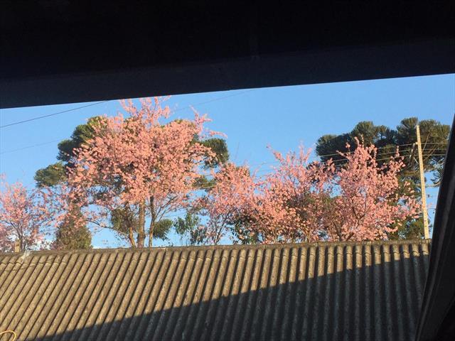 cerejeira 13-08
